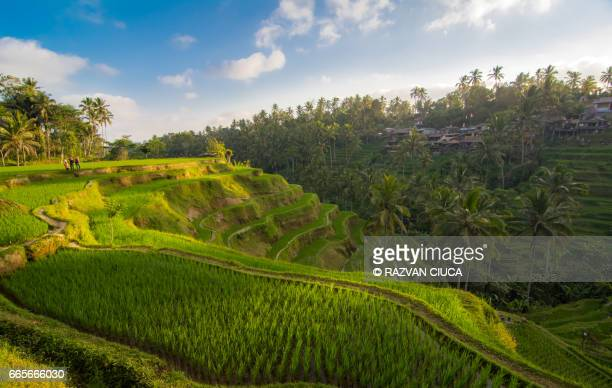 rice fields - ubud district stock pictures, royalty-free photos & images