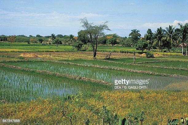 Rice fields Republic of Haiti