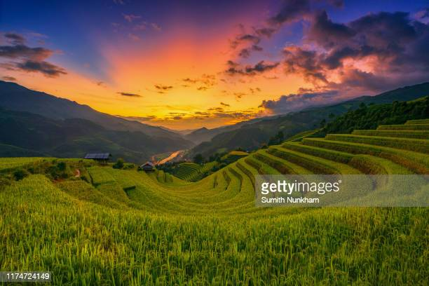 rice fields terraced in harvest season with sunset of mu cang chai, yenbai, northern vietnam, vietnam landscapes rice fields terraced. - muş city turkey stock pictures, royalty-free photos & images