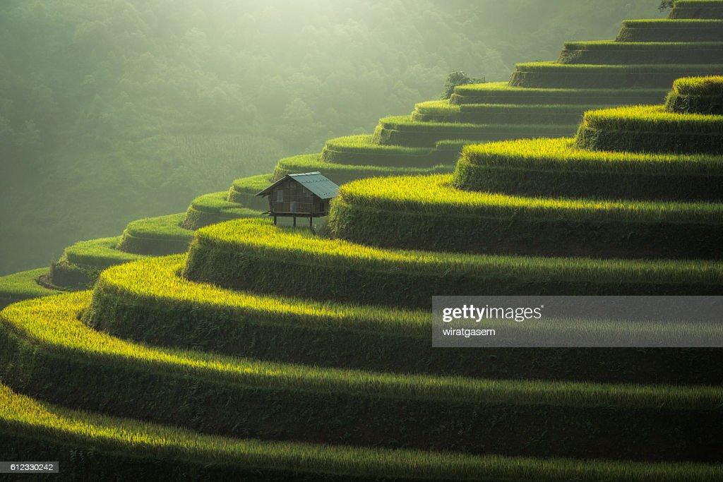 Rice fields terraced : Stock Photo