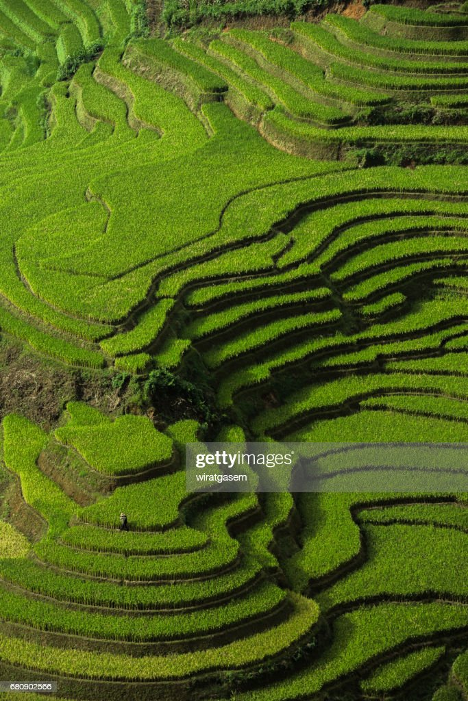 Rice fields terraced : Stock Photo