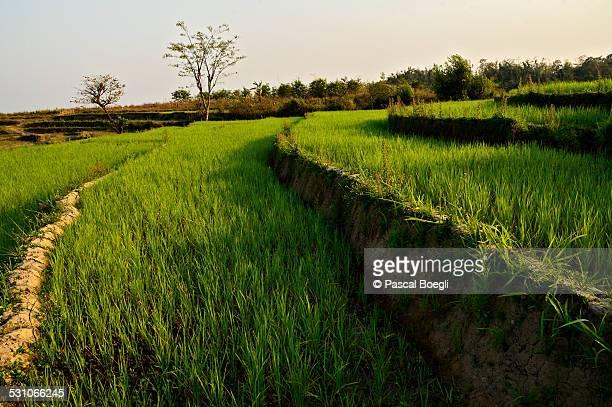 Rice fields terraces in Myanmar