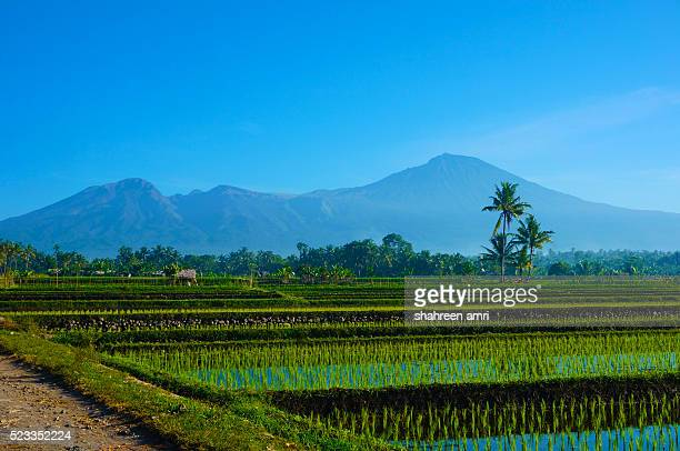 Rice Fields with Mount Rinjani