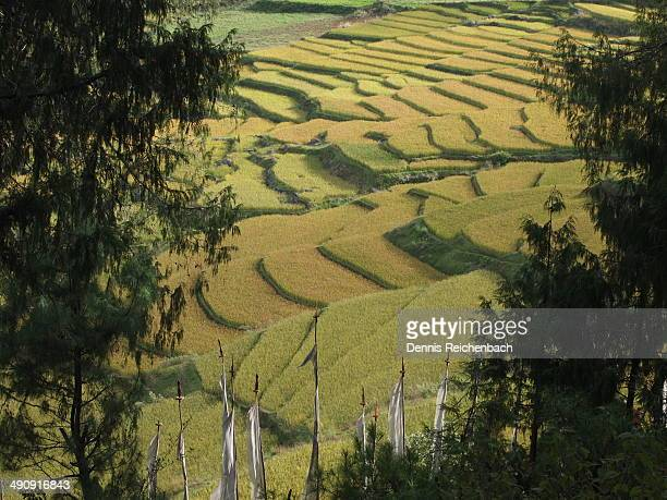 Rice fields with prayer flags