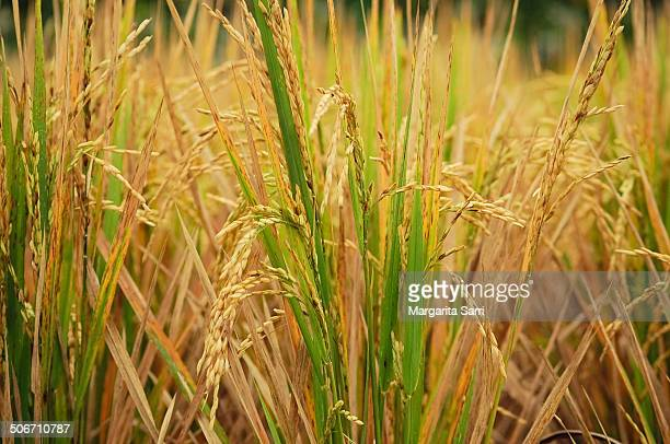 rice grains in field - sarri stock pictures, royalty-free photos & images