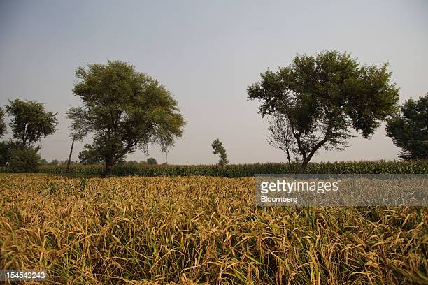 Rice grows in a paddy field in the Chiniot district of Punjab province Pakistan on Saturday Oct 13 2012 Rice exports from Pakistan the fourthlargest...