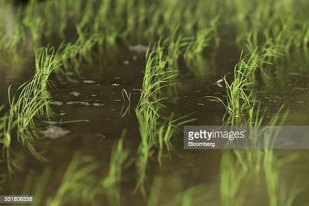 Rice grows in terraced paddy fields in the Nakayama District of Shodo Island Kagawa Prefecture Japan on Saturday May 14 2016 Japan's Cabinet Office...