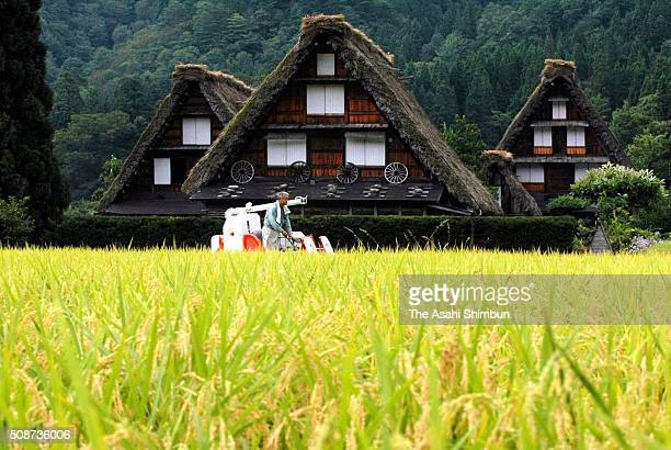 Rice harvest begins at a rice paddy in front of the thatched farmhouses at the world heritage site of the ShirakawaGo on September 14 2005 in...