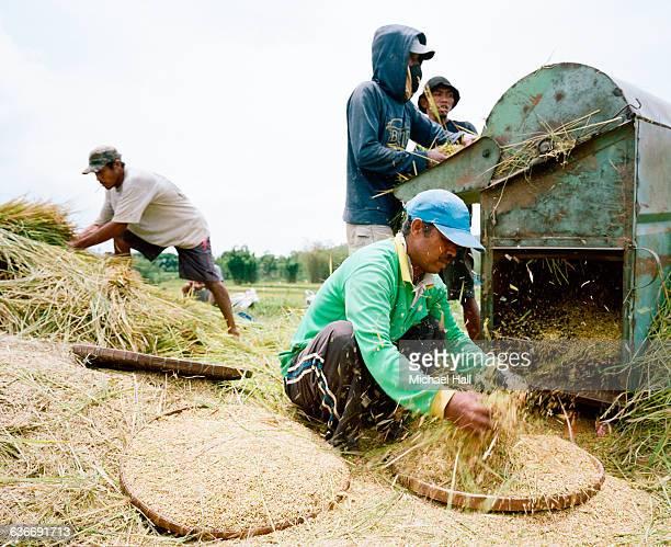 Rice harvest Flores