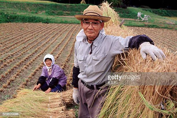 Rice harvest, Japan