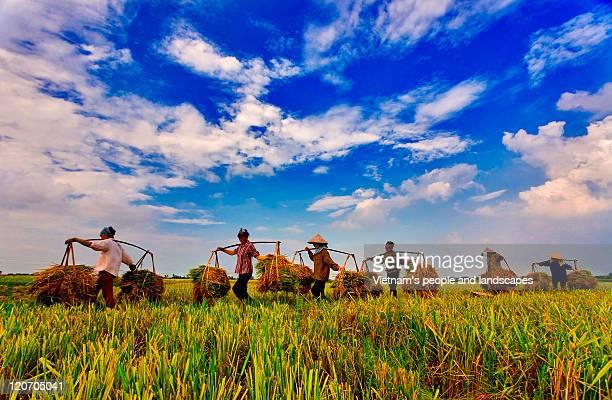 rice harvest - ナムディン ストックフォトと画像