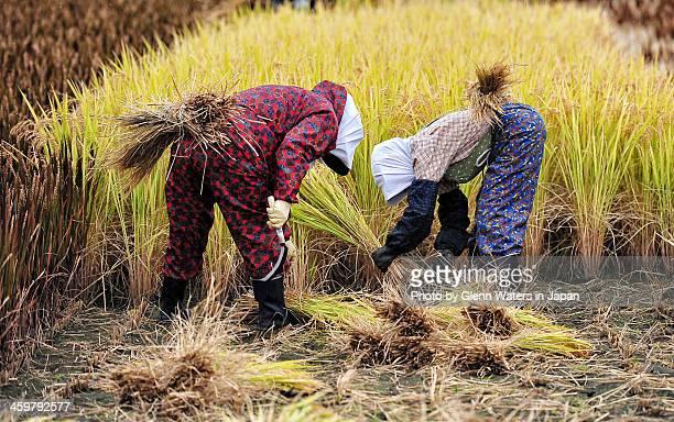 Rice harvest,.Japan