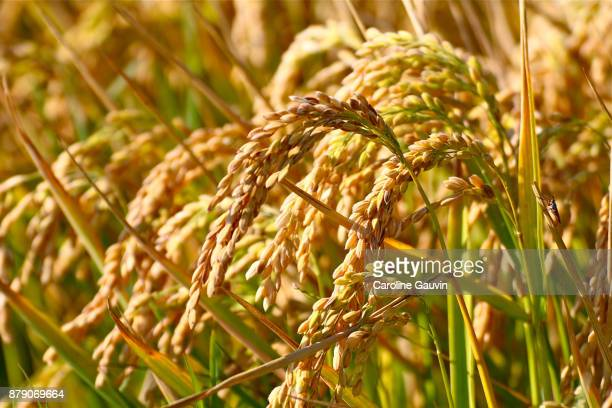 rice in camargue - bouches du rhone stock pictures, royalty-free photos & images