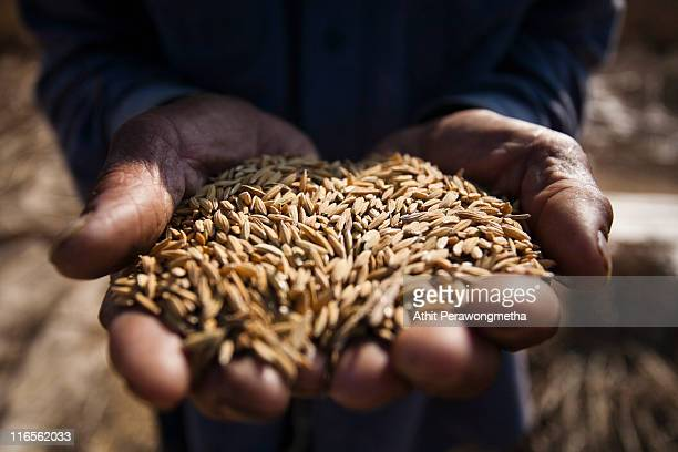 rice in hand of farmer - cereal plant stock pictures, royalty-free photos & images