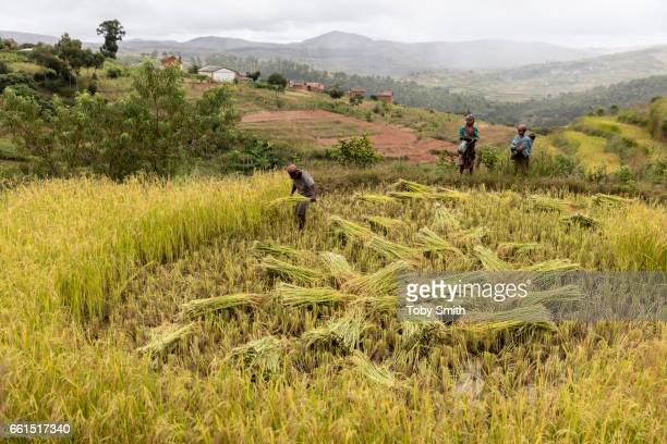 Rice is harvested in family groups and portered by hand to the safety of the family house