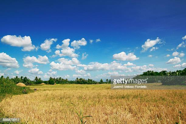rice paddies: asuncion, davao del norte, philippin - joemill flordelis stock pictures, royalty-free photos & images