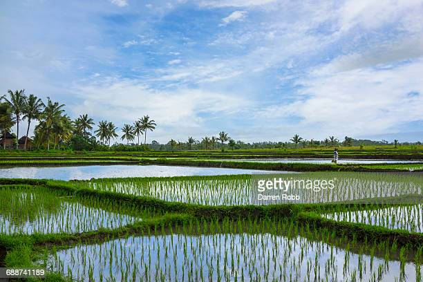 rice paddies, bali, indonesia - rice paddy stock pictures, royalty-free photos & images