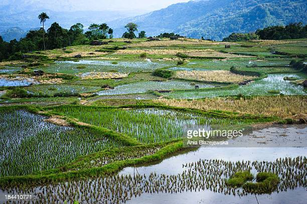 Rice paddies landscape in Tana Toraja on Sulawesi island. Tana Toraja, situated in the south of Sulawesi, sometimes reminds alive museum full of...