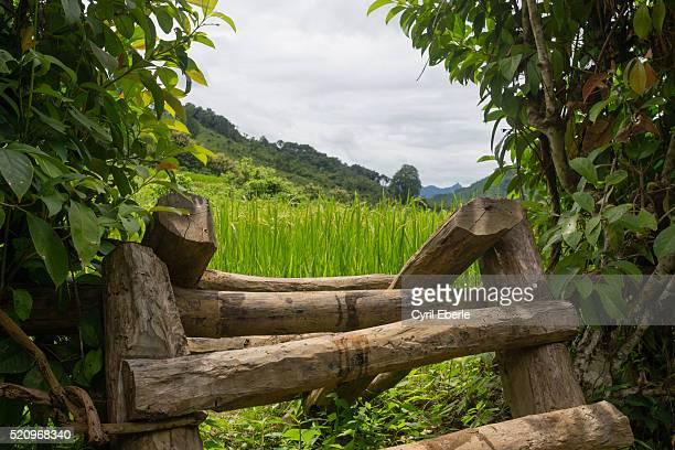 Rice paddies Laos