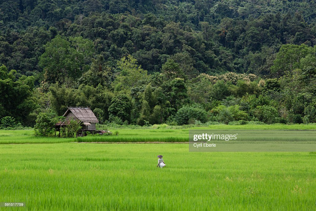 Rice paddies of Nong Khiaw : Stock Photo