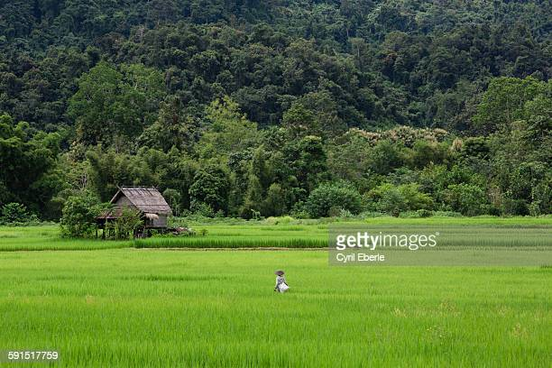 Rice paddies of Nong Khiaw