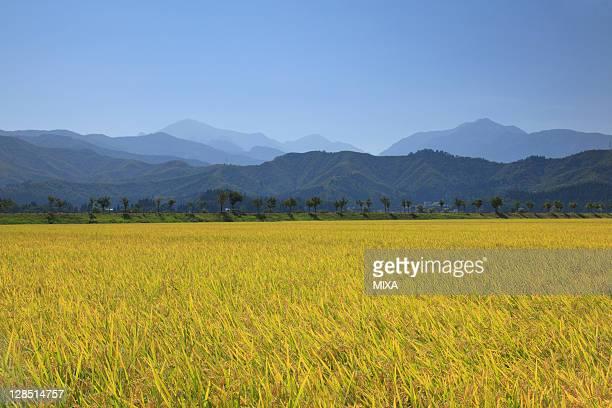 Rice Paddy at Koide, Tokamachi, Niigata, Japan