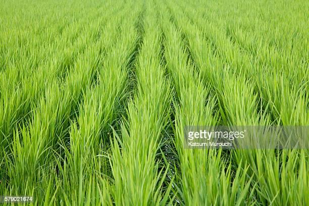 Rice paddy close-up