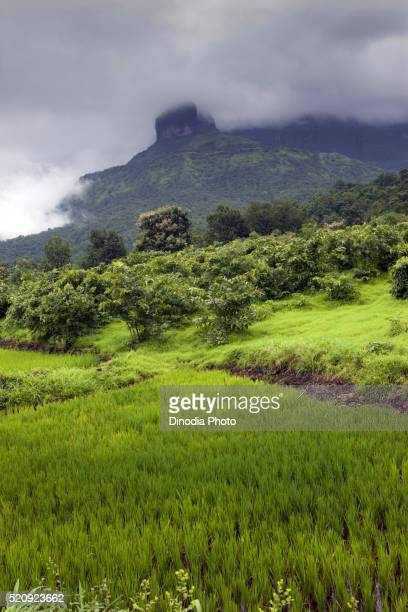 rice paddy field, malshej ghat, thane, maharashtra, india, asia - ghat stock pictures, royalty-free photos & images