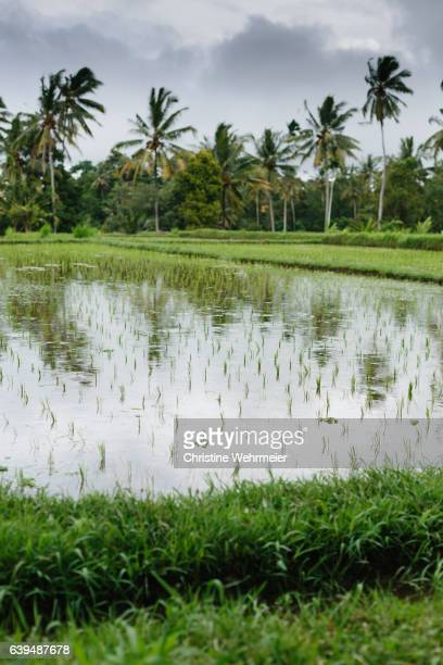 a rice paddy field on the outskirts of ubud, bali on an overcast day - christine wehrmeier stock photos and pictures