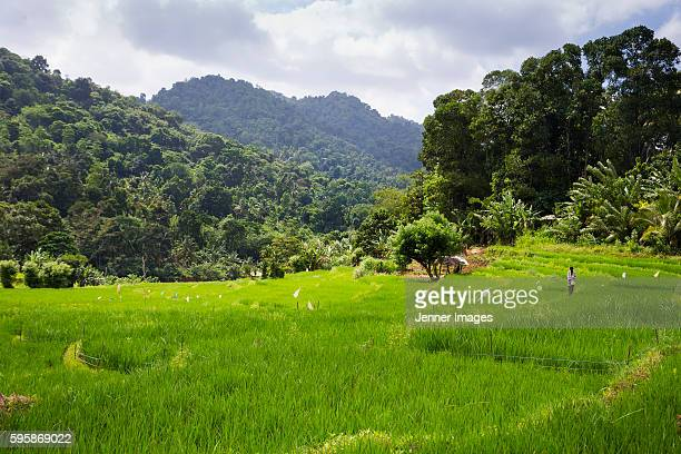 Rice Paddy field, Sri Lanka.