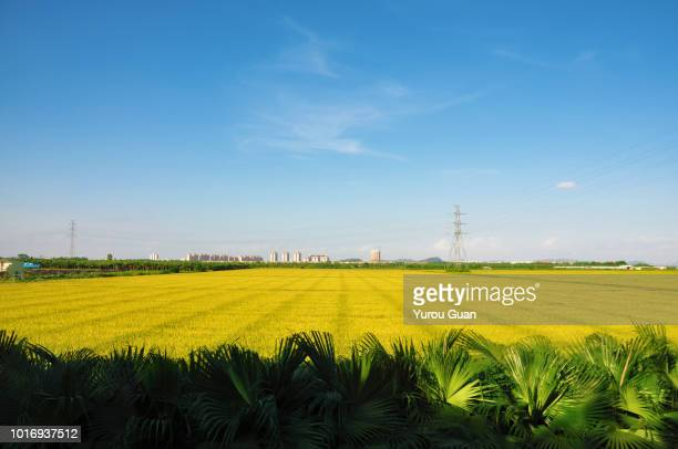 rice paddy field with palm trees as foreground. - 熟した ストックフォトと画像