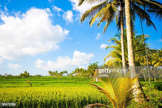 Rice paddy fields in Ubud, Bali, Indonesia