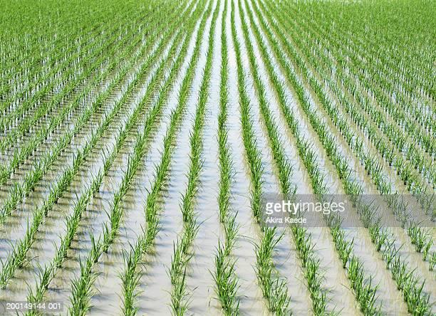 Rice paddy, full frame