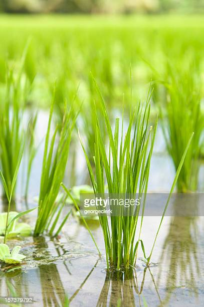 Rice Paddy Wachstum