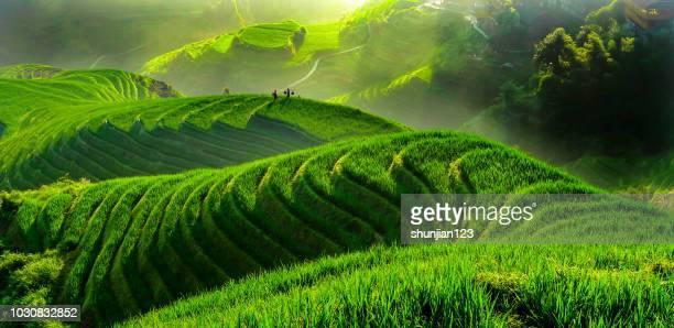 rijstveld in contourploegen - rice terrace stockfoto's en -beelden