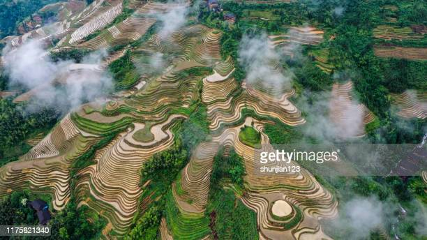 rice paddy in longsheng - rice terrace stock pictures, royalty-free photos & images