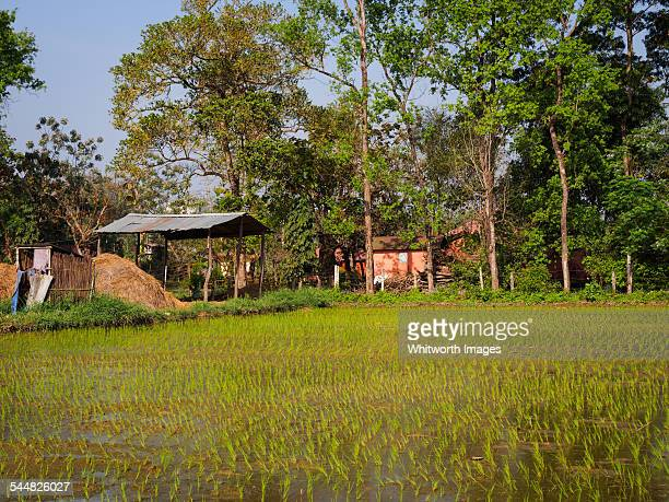 Rice paddy in lowland Nepal