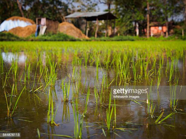 Rice paddy in Nepal