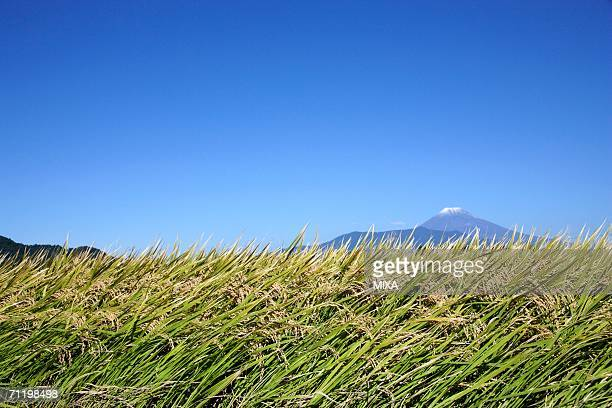 rice paddy in shizuoka prefecture, japan - mishima city stock photos and pictures