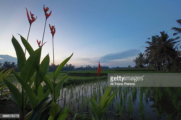 Rice paddy in Ubud Bali