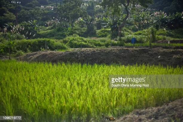 Rice paddy in Yi O Agricultural Cooperation, Lantau Island, Hong Kong, photographed on May 26, 2016. 26MAY16 [FEATURES] PHOTO / Chen Xiaomei