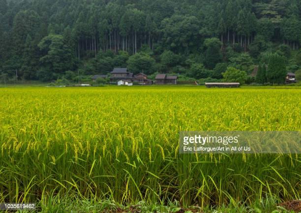 Rice Paddy Kyoto Prefecture Miyama Japan on August 9 2018 in Miyama Japan