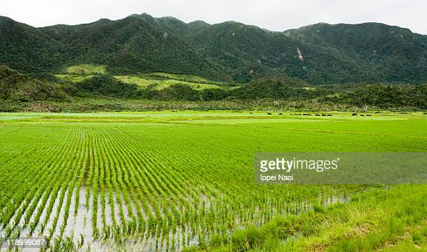 rice paddy on japanese tropical island, iriomote - ippei naoi stock photos and pictures