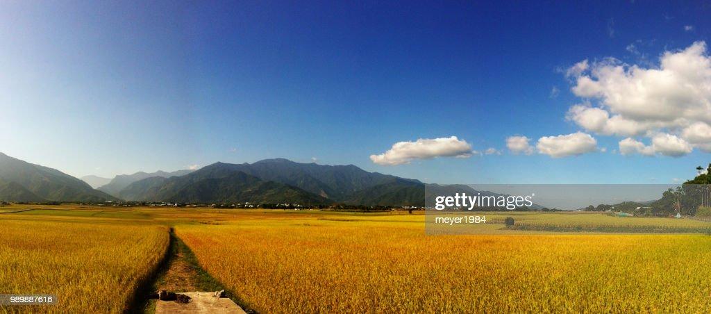 rice paddy : Stockfoto