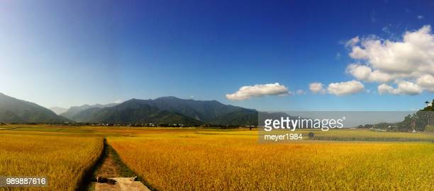 rice paddy - rijstveld stockfoto's en -beelden