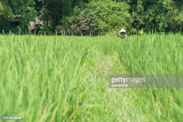 rice paddy with farmer in the background. - mai chau stock pictures, royalty-free photos & images