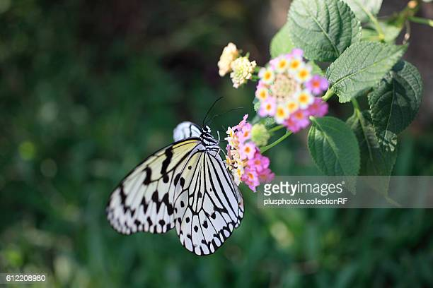 Rice Paper Butterfly on Lantana