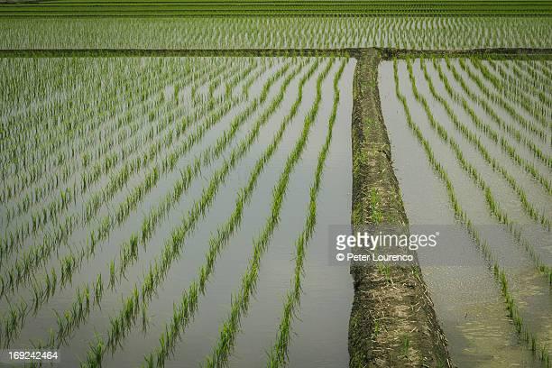 rice - peter lourenco stock-fotos und bilder