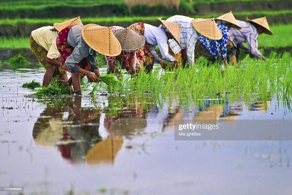 Rice : Stockfoto