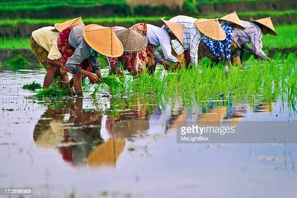 rice - paddy field stock pictures, royalty-free photos & images